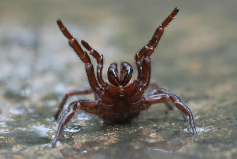 The funnel-web spider is one of the world's most venomous arachnids