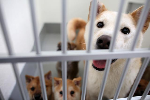 <p>In this image released on Tuesday March 24th, A group of dogs, part of the 57 dogs rescued by Humane Society International and Change for Animals Foundation from a dog meat farm in Hongseong, South Korea, are temporarily housed in a San Francisco SPCA kennel on March 20, 2015. HSI worked with the farmer to remove the dogs from miserable conditions and close the doors of his facility for good. As part of the plan, HSI secured an agreement with him to stop raising dogs for food and move permanently to growing crops as a more humane way to make a living. HSI flew the dogs to San Francisco to be evaluated and treated for medical issues at the San Francisco SPCA. Some of the dogs were transferred to additional HSI Emergency Placement Partners, including East Bay SPCA, Marin Humane Society and the Sacramento SPCA. All the dogs will be found loving, permanent homes. (Sammy Dallal/AP Images for The Humane Society of the United States) </p>