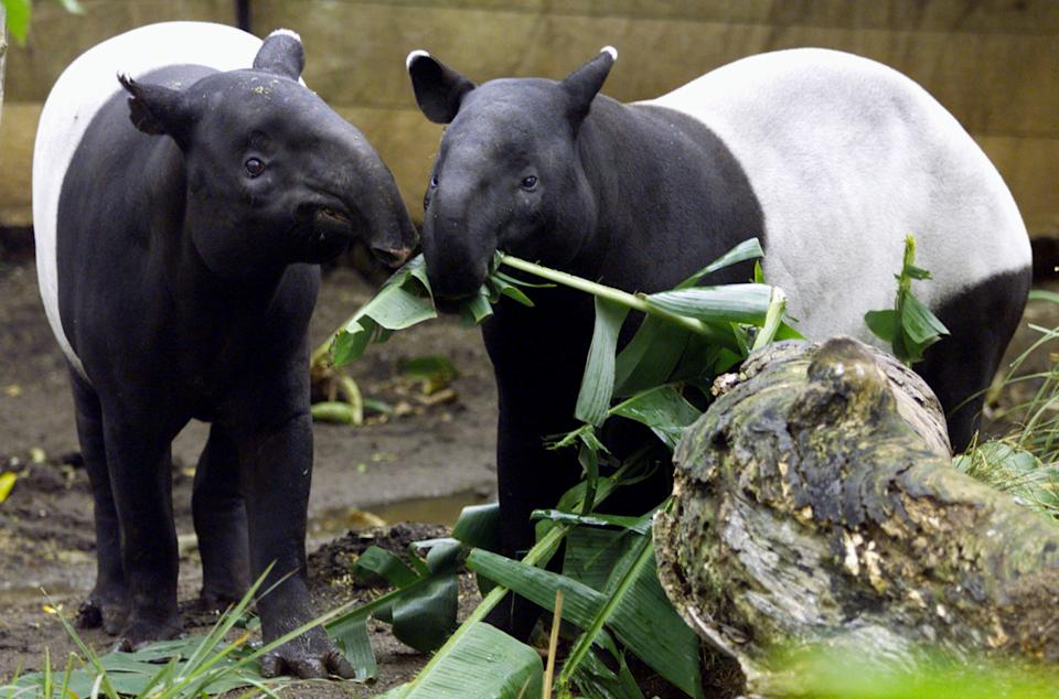 Denise (L), a female Malayan tapir, a recent arrival from Philadelphia Zoo muzzles her way next to Berani, a male tapir at Sydney's Taronga Zoo July 10, where its hoped the newly introduced pair will breed as part of a conservation program for this endangered species. The gentle and shy tapirs, look like a cross between a hippopotamus and a pig but are actually more closely related to horses, using their long and flexible snouts to examine and smell the ground around them to pluck leaves and draw them to their mouths.