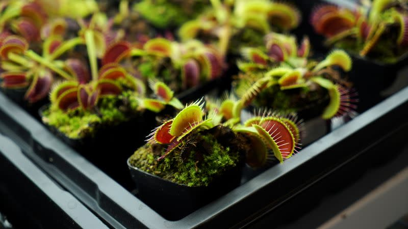 Venus flytraps are seen in a lab at Nanyang Technological University in Singapore