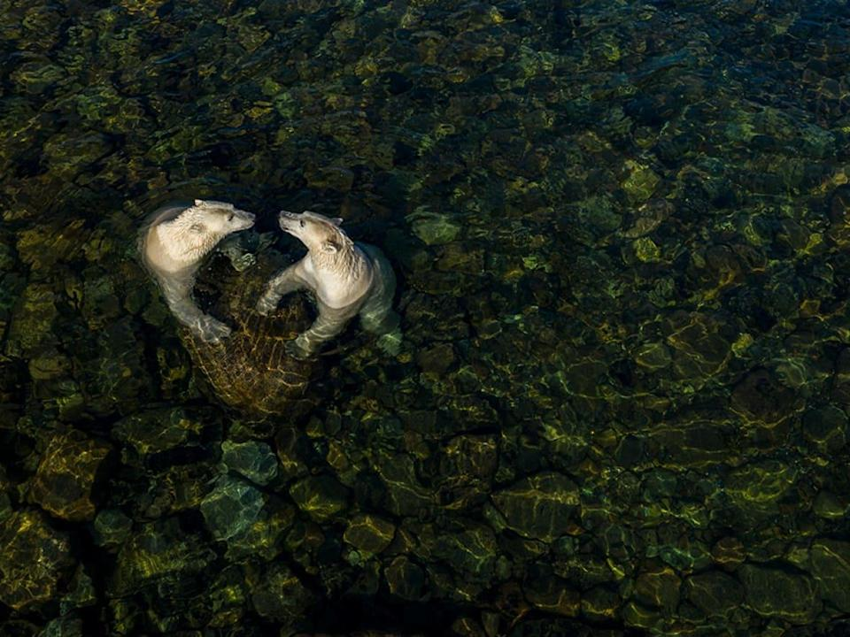 Two female polar bears play in shallow water, forming a heart shape. Martin Gregus won the Rising Star Portfolio award in the Wildlife Photographer of the Year Awards for his series of photos of polar bears in Churchill, Man.  (Martin Gregus/Wildlife Photographer of the Year - image credit)