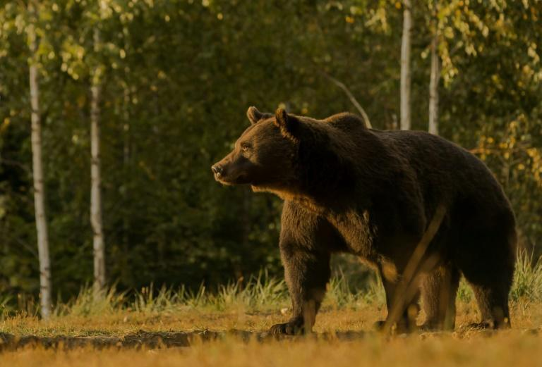 Activists say the 17-year-old bear named Arthur was the country's largest, observed for years in the area.