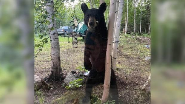 A young black bear broke into Samantha Plunz's house and was chased out. It then tried to break in again later the same day.  (Submitted by Samantha Plunz - image credit)