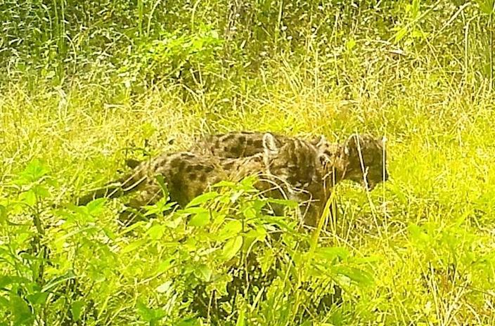 A trail camera at a wildlife crossing at the Florida Panther National Wildlife Refuge documented a rare mother panther with two young kittens this year.