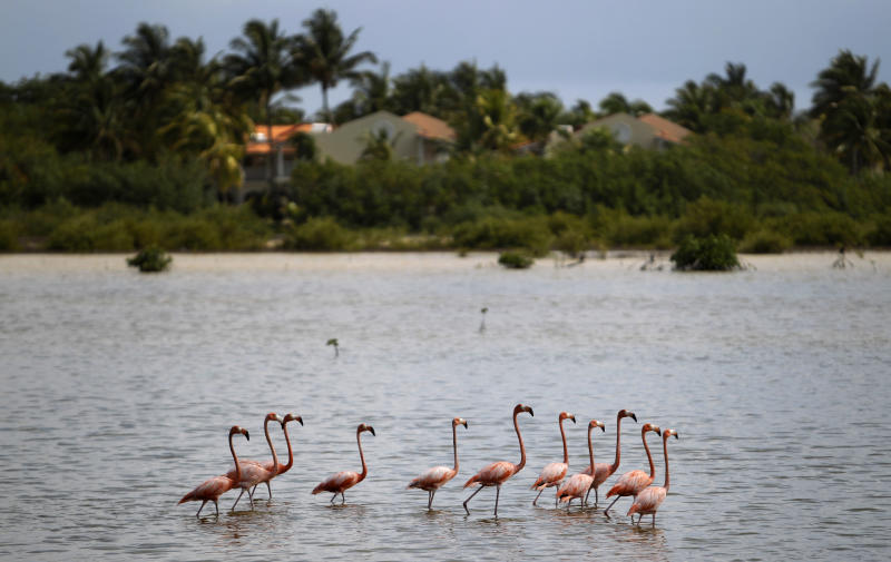 In this May 21, 2013 photo, flamingos walk in a lake in Cayo Coco, in Ciego de Avila, Cuba. Scientists project that rising sea levels would seriously damage or wipe dozens of Cuban towns off the map. Beaches would be submerged, they found, while freshwater sources would be tainted and croplands rendered infertile. (AP Photo/Franklin Reyes)
