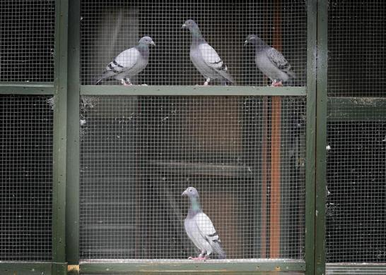 Racing pigeons wait to be loaded for the One Loft race at Birtsmorton, central England August 25, 2012.