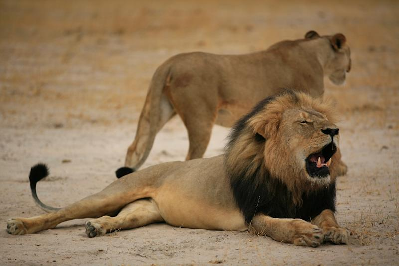 """This picture taken on October 21, 2012 and released by the Zimbabwe National Parks agency shows a lion called """"Cecil"""" which was killed by an American tourist on a hunt using a bow and arrow (AFP Photo/)"""