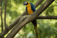 A blue-and-yellow macaw that zookeepers named Juliet perches on a branch outside the enclosure where captive macaws are kept, at BioParque in Rio de Janeiro, Brazil, Wednesday, May 5, 2021. Juliet is believed to be the only wild specimen left in the Brazilian city where the birds once flew far and wide. (AP Photo/Bruna Prado)