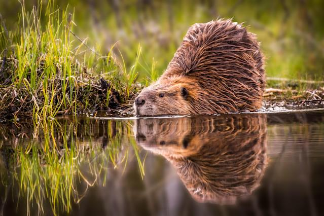 A beaver's mirrored reflection in the still water along a bank of the Snake River.
