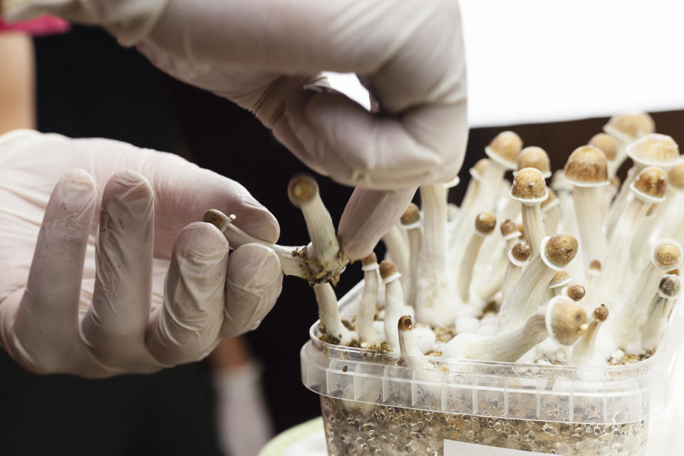 Psylocibin mushrooms growing in magic mushroom breads on an isolated plastic environment being collected by expert hands wearing white latex medical gloves. Fungi hallucinogen drugs production concept