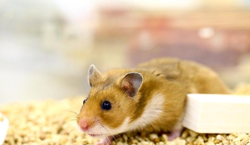 Researchers used 52 hamsters in the experiment, which saw the presence of surgical mask-like barriers greatly lower the rate of infection. Photo: Handout