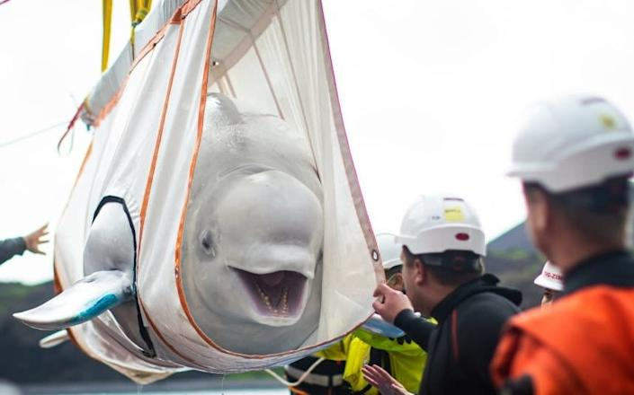Little Grey, pictured in a sling being hoisted into a temporary sanctuary pool - PA
