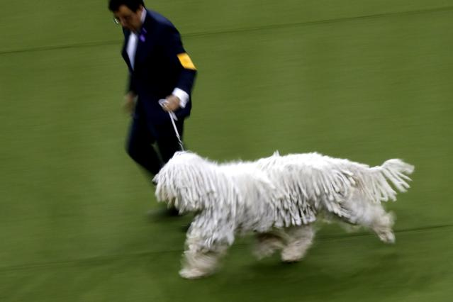 Addie, a komondor, competes with the working group at the Westminster Kennel Club Dog Show on Tuesday, Feb. 11, 2020, in New York. (AP Photo/Wong Maye-E)