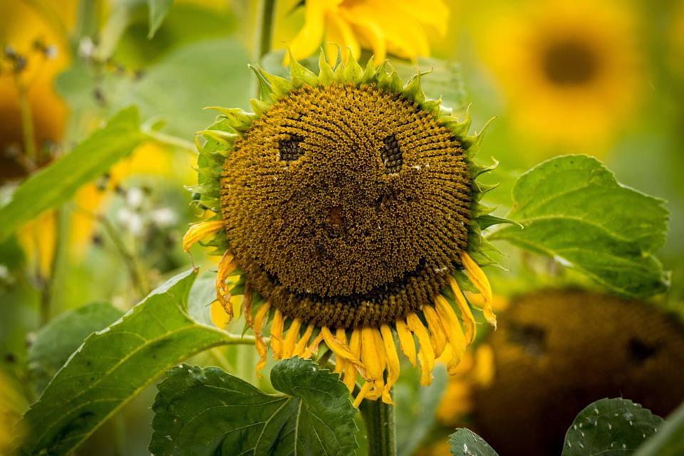 Smiley face in a sunflower (PA Archive)