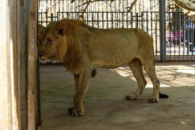 Park officials and medics said the lions' conditions deteriorated over the past few weeks, with some losing almost two-thirds of their body weight (AFP Photo/ASHRAF SHAZLY)