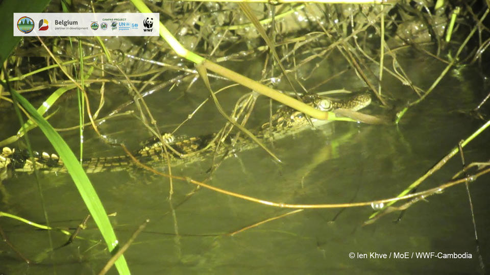 In this image released by Cambodian Environment Ministry and WWF, a Siamese crocodile swims in Srepok Wildlife Sanctuary of Cambodia's Eastern Plains, Mondulkiri province, Cambodia, on Sept. 13, 2021. Eight hatchlings from one of the world's rarest crocodile species have been found in a wildlife sanctuary in eastern Cambodia, raising hopes for its continuing survival in the wild. Conservationists found the baby Siamese crocodiles in a river in the Srepok Wildlife Sanctuary, Cambodia's Environment Ministry and the World Wildlife Fund said Tuesday, Sept. 21, 2021. (Cambodian Environment Ministry and WWF via AP)