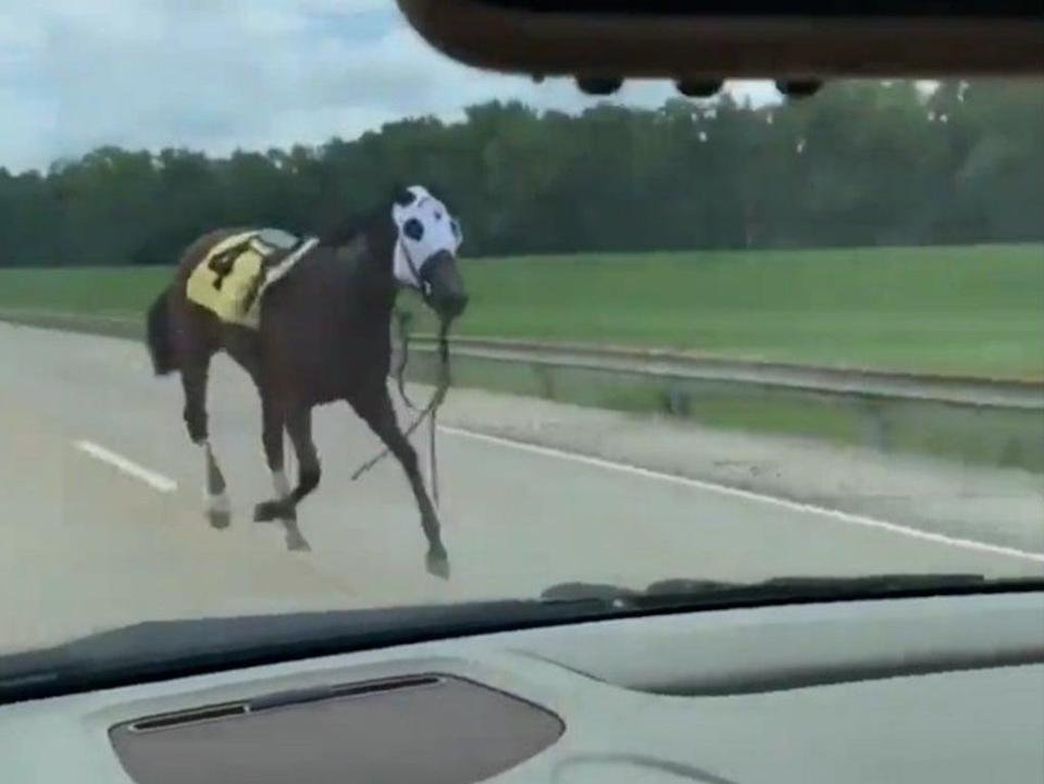 Racehorse Bold and Bossy running down a Kentucky highway after throwing her rider (Cullen Stanley)
