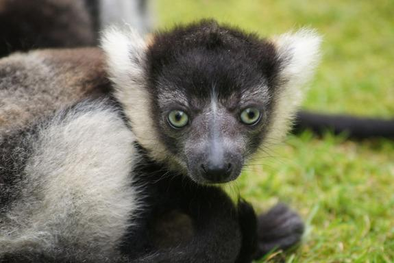 Baby Brains Tune into Lemur Shrieks