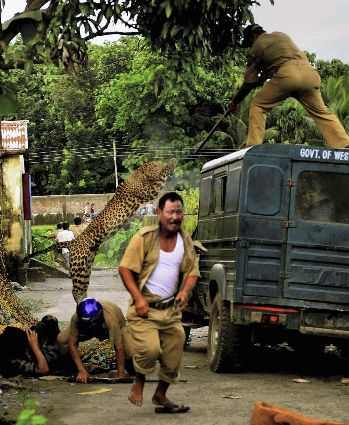 In this photo taken Tuesday, July 19, 2011, a leopard attacks a forest guard as another runs for cover at Prakash Nagar village near Salugara, on the outskirts of Siliguri, India. The leopard strayed into the village area and attacked several villagers, including at least four guards, before being caught by forest officials, according to news reports. The leopard, which suffered injuries caused by knives and batons, died later in the evening at a veterinary center. No people were killed in the attacks. (AP Photo)