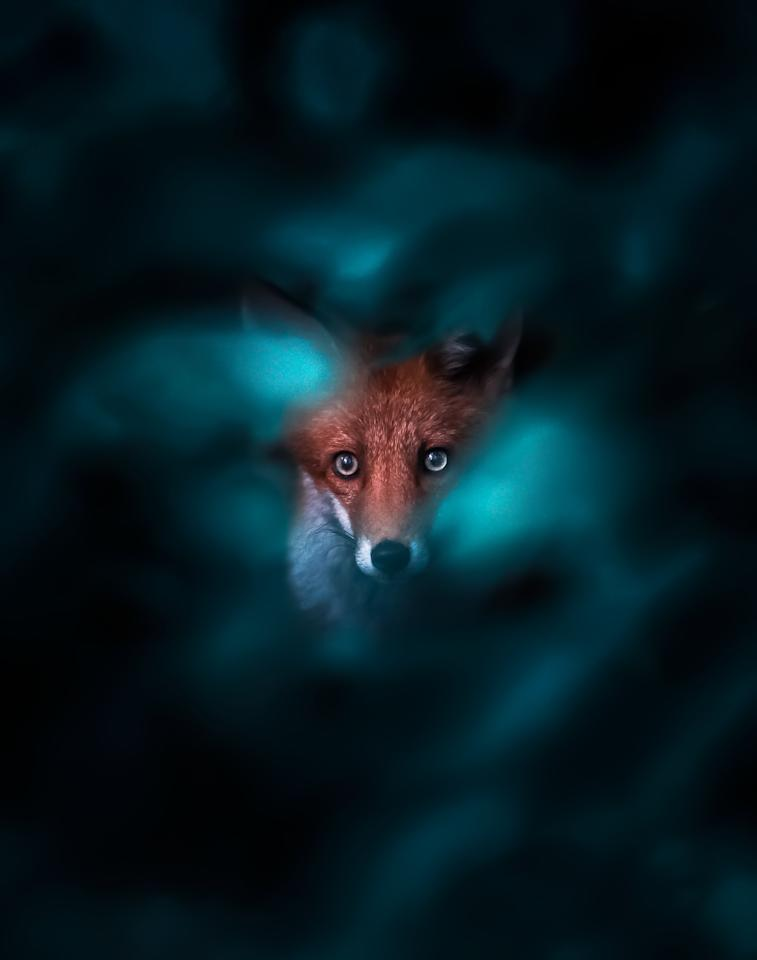 <p>He said: 'Getting close to foxes is difficult. I prefer is to let them see me and learn I'm not a threat to gain their trust.' (SWNS) </p>
