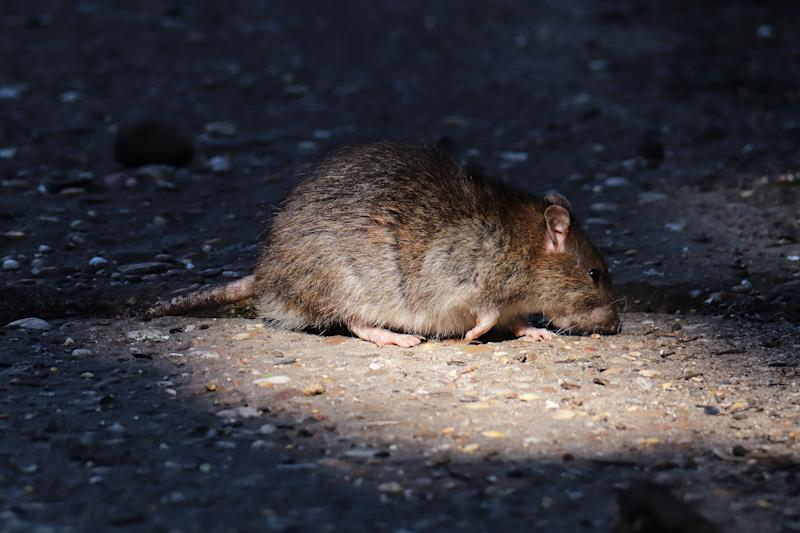 30 march 2020, Basse Yutz, Yutz, Thionville Portes de France, Moselle, Lorraine, Grand Est, France. In the garden, a brown rat comes to eat seeds fallen from the manger on the ground, passing between the shadows and the light that the branches of a tree pass through.