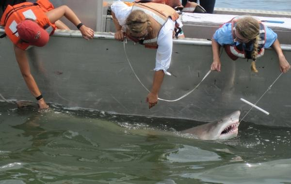 University of Delaware researchers catching a sand tiger shark, before inserting a tag in the animal that allows them to track it.