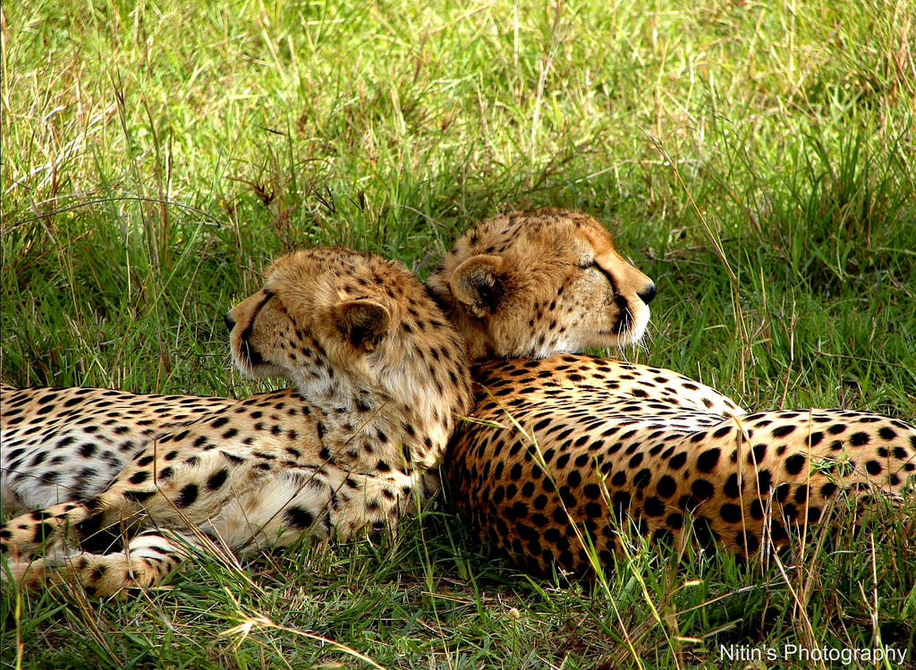 Two cheetah siblings spar and play with each other in Maasai Mara, Kenya. When they spotted us they posed to give us this shot.