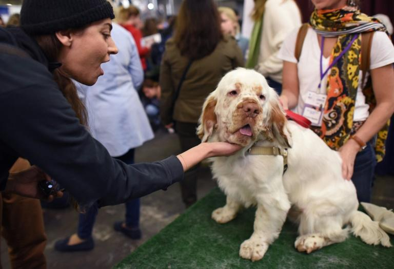 Rumor Wins Big At Westminster Kennel Club Dog Show