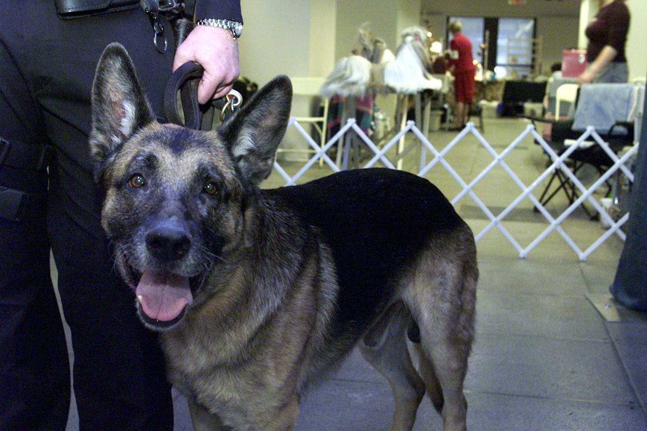 World Trade Center Search and Rescue dog, Apollo, attends the New York Specialty Dog Show February 9, 2002 in New York City. Apollo was the first Search and Rescue dog on site after the collapse of the World Trade Center September 11, 2001 in New York. Apollo and his handler, New York Police K-9 officer Peter Davis, received the Langden Sarter award from the American Kenel Club (AKC). A check for $400,000 was given from the AKC to the Federal Emergency Management Agency (FEMA) for studies on the health affects of exposure to the World Trade Center site on dogs like Apollo. (Photo by George Best/Getty Images)