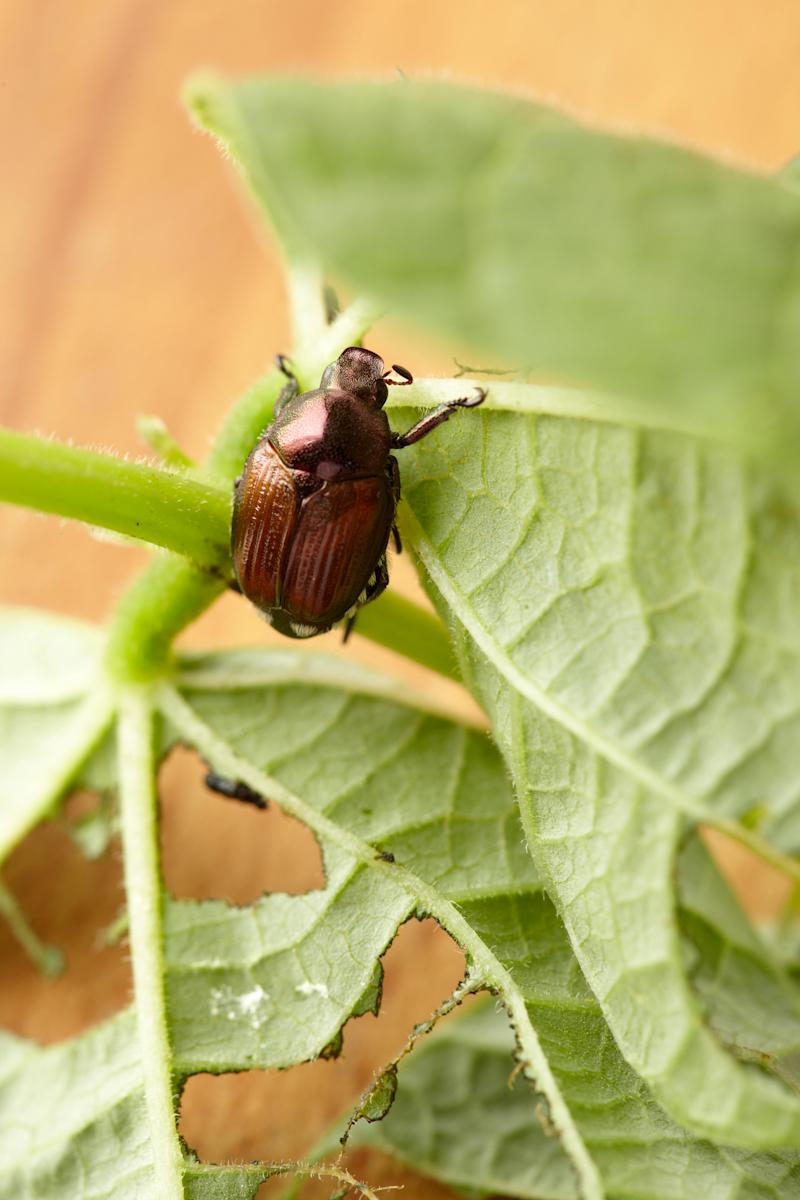 beetle on chewed leaf