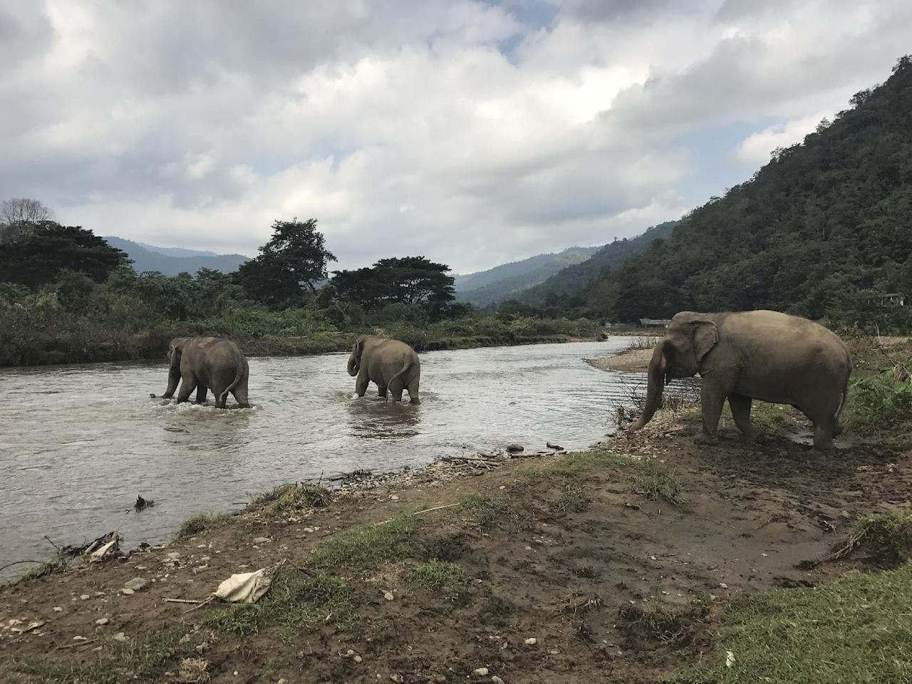 In this Nov. 29, 2016 photo, elephants cross a river at the Elephant Nature Park outside Chiang Mai, Thailand. The sanctuary promises an ethical way to interact with the rescued animals, offering tours that let visitors walk beside them through the jungle. (AP Photo/Courtney Bonnell)
