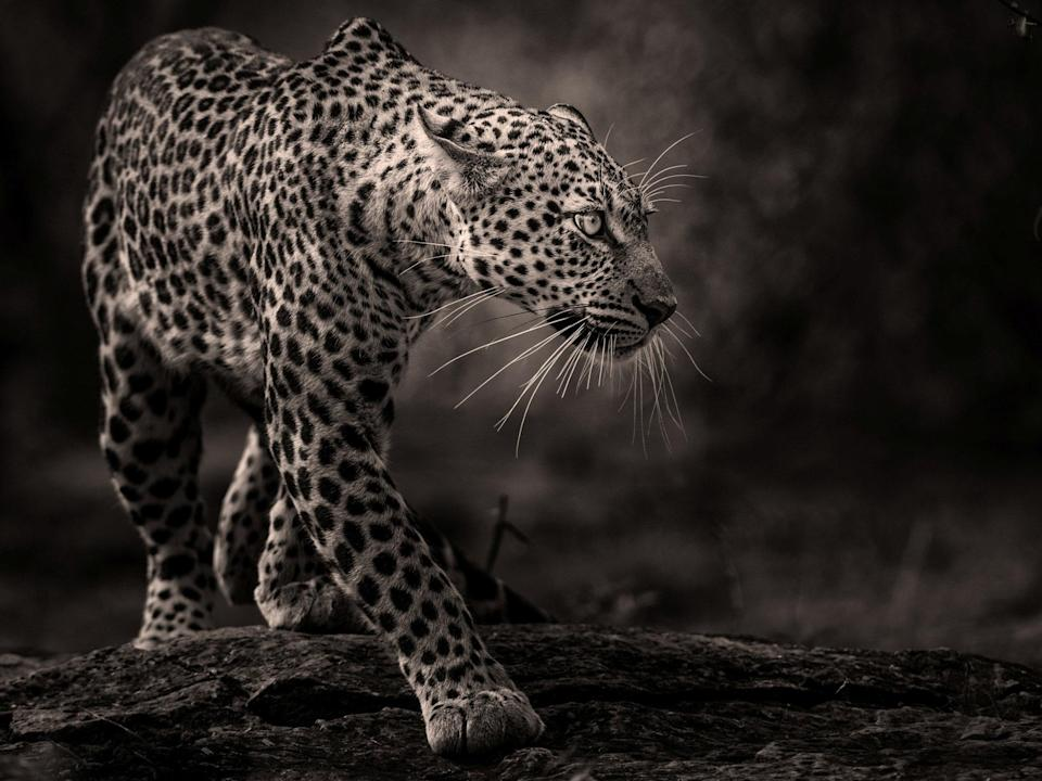 "<p>Leopard in the Masai Mara. Jane, from near Preston in Lancashire, said: ""It's a wild leopard taken in the Masai Mara. The photo was actually taken from a jeep after a chance sighting and then waiting for it to emerge from resting.""<br>Source: Jane Dagnall / SWNS </p>"