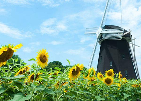 ▲Windmill cabin atop the little hill. A sunflower field surrounds it. (Best time to see sunflowers in Osaka: mid-July to August)