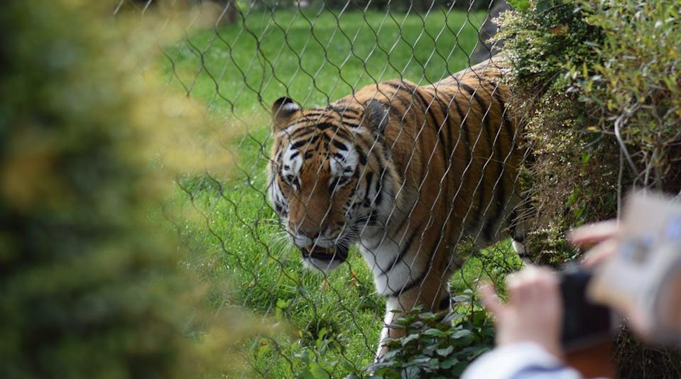 "<span class=""caption"">The pandemic shone a spotlight on the plight of exotic animals after the Netflix Tiger King series. It also resulted in a run on pet adoptions. But what is the state of animal welfare more than a year into the crisis?</span> <span class=""attribution""><span class=""source"">Tom Copus/Unsplash</span></span>"
