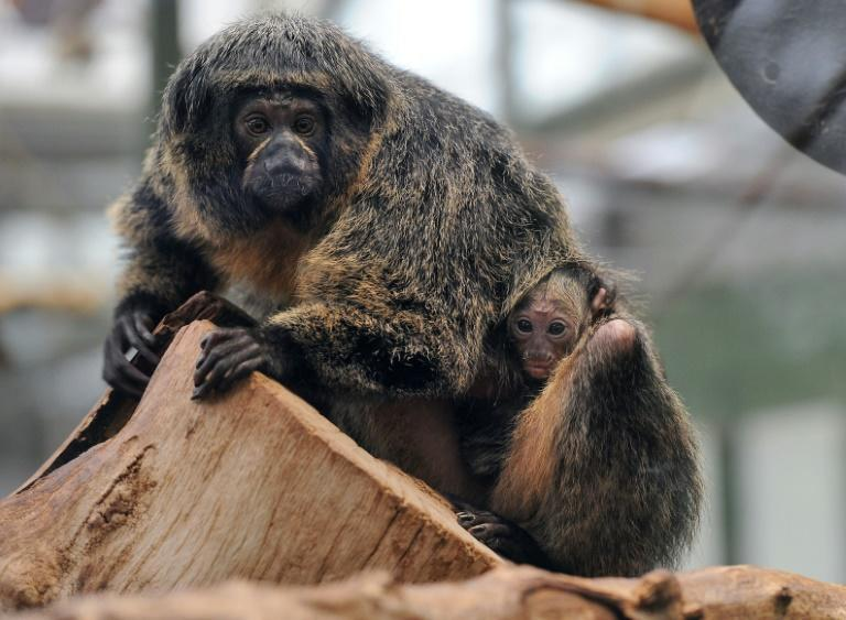 White-faced saki monkeys in Helsinki zoo were able to choose between the noise of rain, traffic, zen sounds or electronic music.