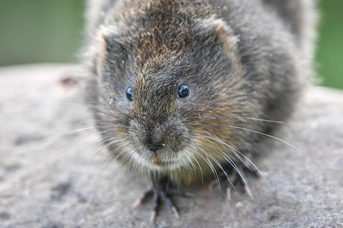Water voles are considered to be endangered, according to the Red List. (PA)