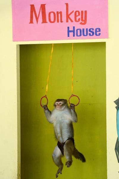 On Monkey Island in Vietnam, macaques ride motorbikes, lift weights and shoot basketballs a packed circus performance