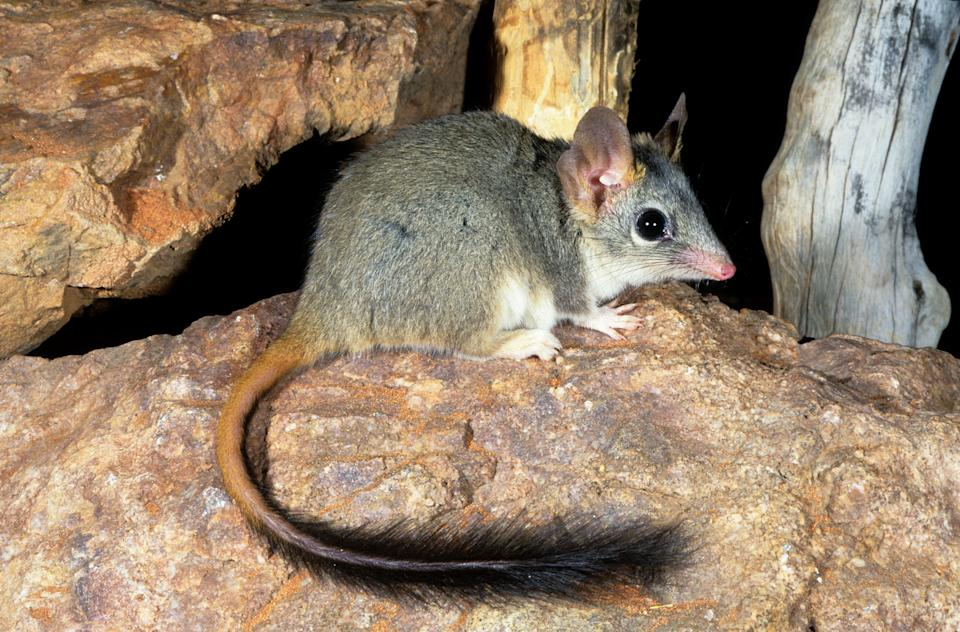 A phascogale sitting on a rock