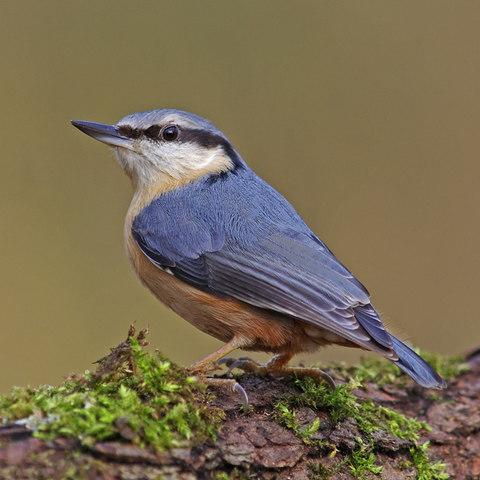 Look out for nuthatches in the November garden - Credit: Gary Chalker/Moment RF