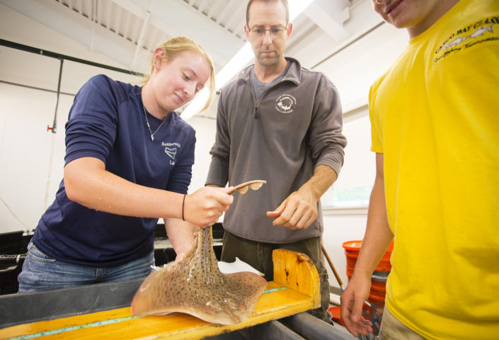 University of New England marine science senior Melanie Kolacy places a skate on a measuring table in the schools , as Professor James Sulikowski looks on at center, in the schools Marine Sciences Center in Biddeford on Tuesday, August 25, 2015. (Carl D. Walsh/Portland Portland Press Herald via Getty Images)