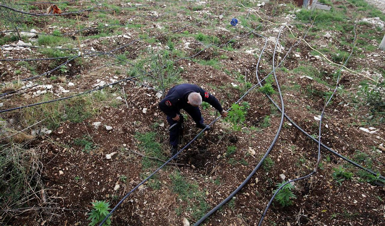 An Albanian police officer destroys cannabis plants in the garden of a house in the lawless village of Lazarat, 230 kilometers (140 miles) south of capital Tirana, Wednesday, June 18, 2014. Near-continuous gunfire rings out from the lawless village as hundreds police still battle well-armed marijuana growers trying to thwart a government crackdown. (AP Photo/Hektor Pustina)
