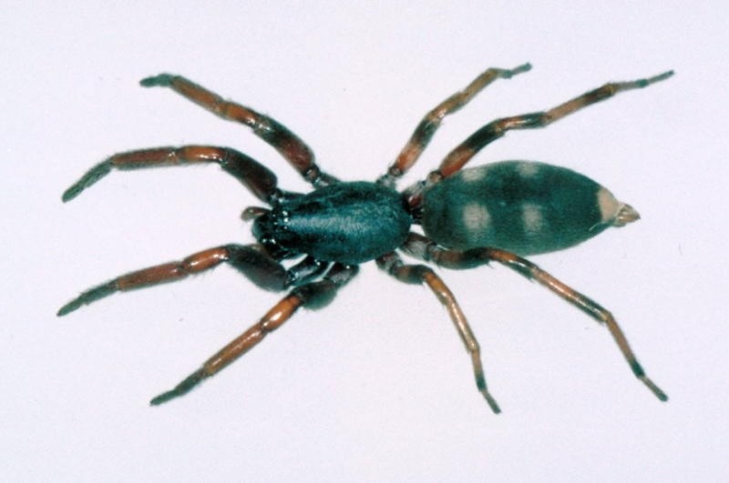 Pictured is a white tailed spider. Source: Australian Museum