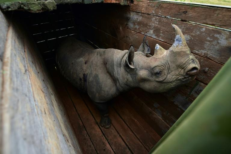 June 26: A female black rhino at Nairobi National Park awaits translocation to Tsavo East