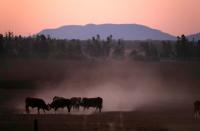 FILE PHOTO: Cattle push each other as they kick-up dust at sunset west of the town of Tamworth