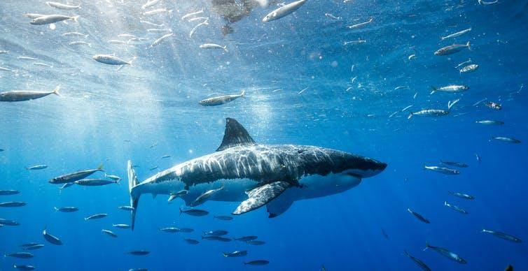 A great white shark swimming underwater in the sea.