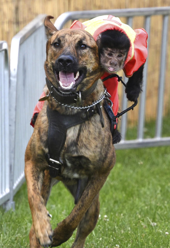 Bert, a Black-Capped Capuchin monkey leans into the coming turn as he rides Luna, a German Shepherd in the Banana Derby during the McHenry County Fair in Woodstock, Ill. on Tuesday, July 30, 2019. MANDATORY CREDIT, MAGS OUT ,(AP photo / Daily Herald, John Starks)