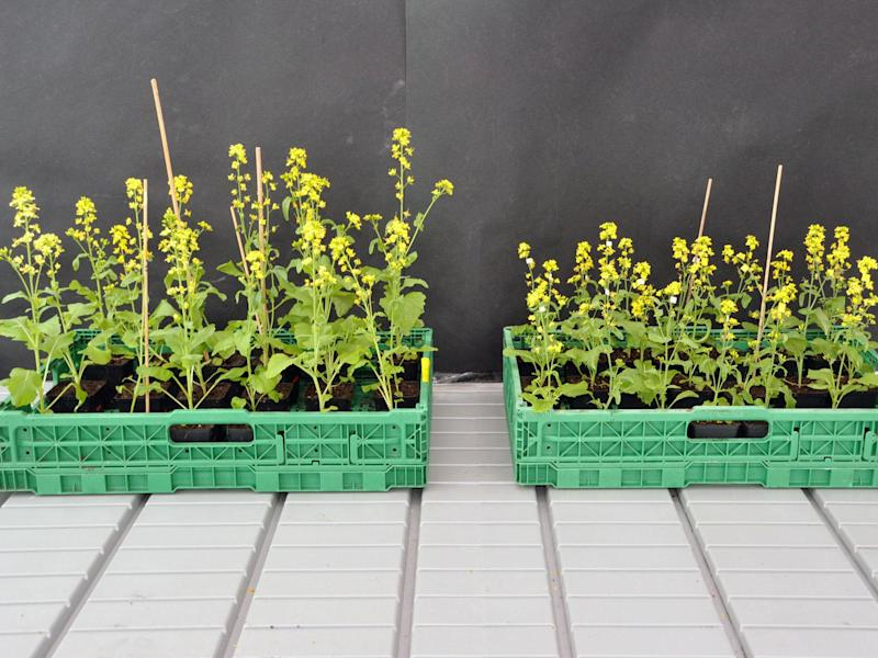 The field mustard plants on the left were pollinated by bumblebees, the smaller ones on the right by hoverflies: UZH