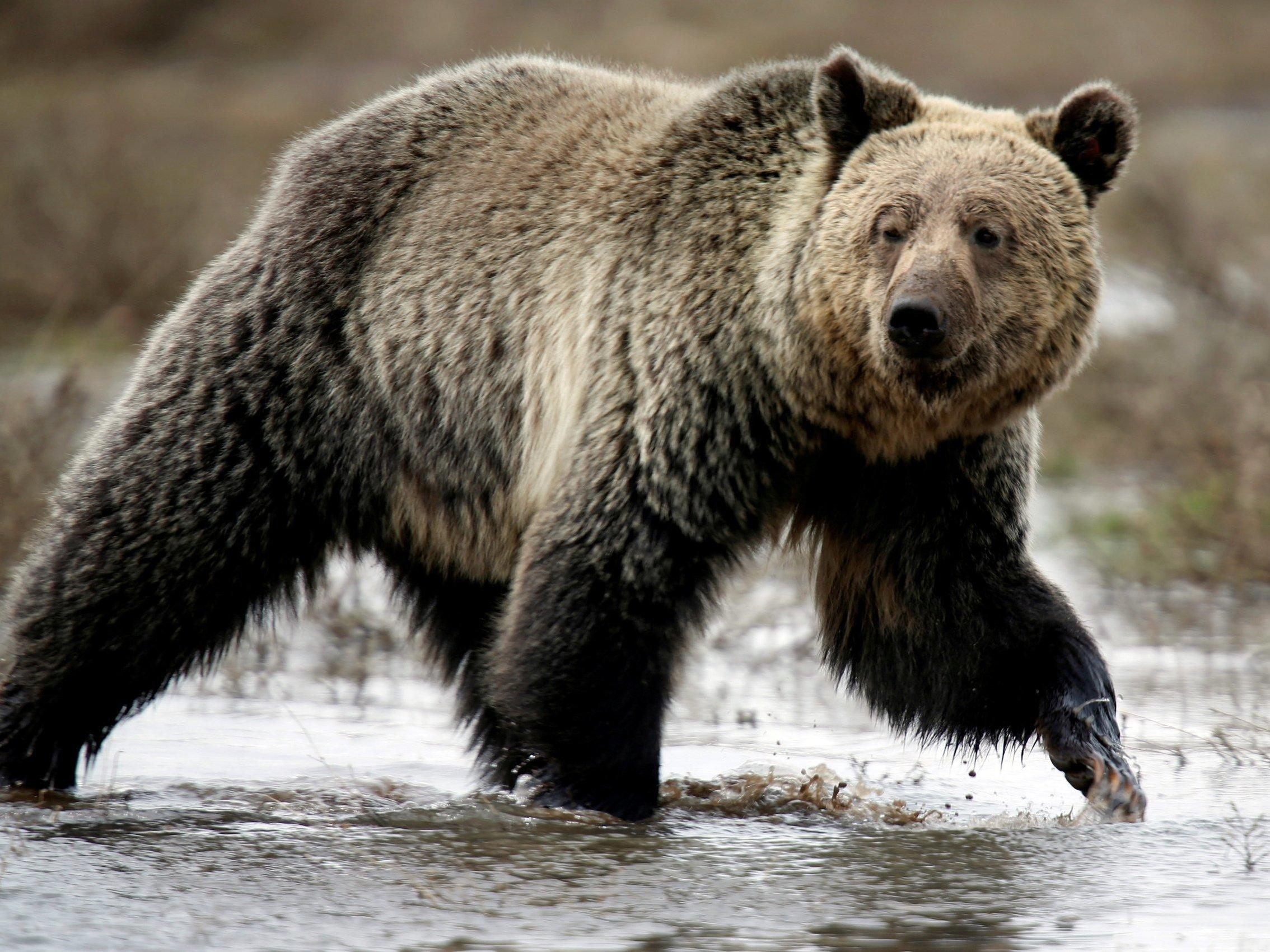 Judge blocks Trump administration's decision to allow grizzly bear hunting
