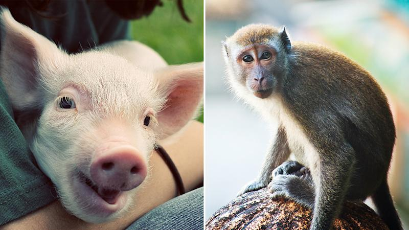 Picture of a piglet and a cynomolgus monkey which scientists used to create a chimeras.