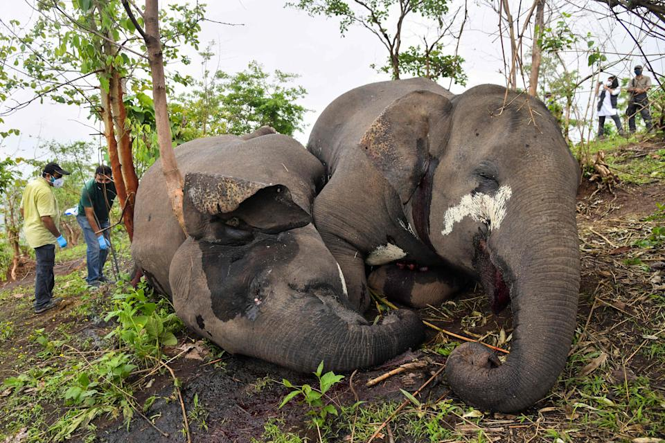 A veterinarian team checks the dead bodies of wild elephants, suspected to have been killed by lightning, on a hillside in Nagaon district of Assam state on May 14. Source: AFP via Getty Images